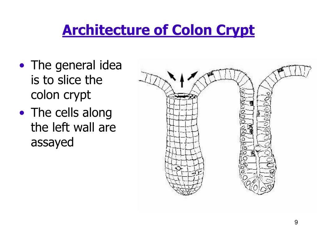 Architecture of Colon Crypt