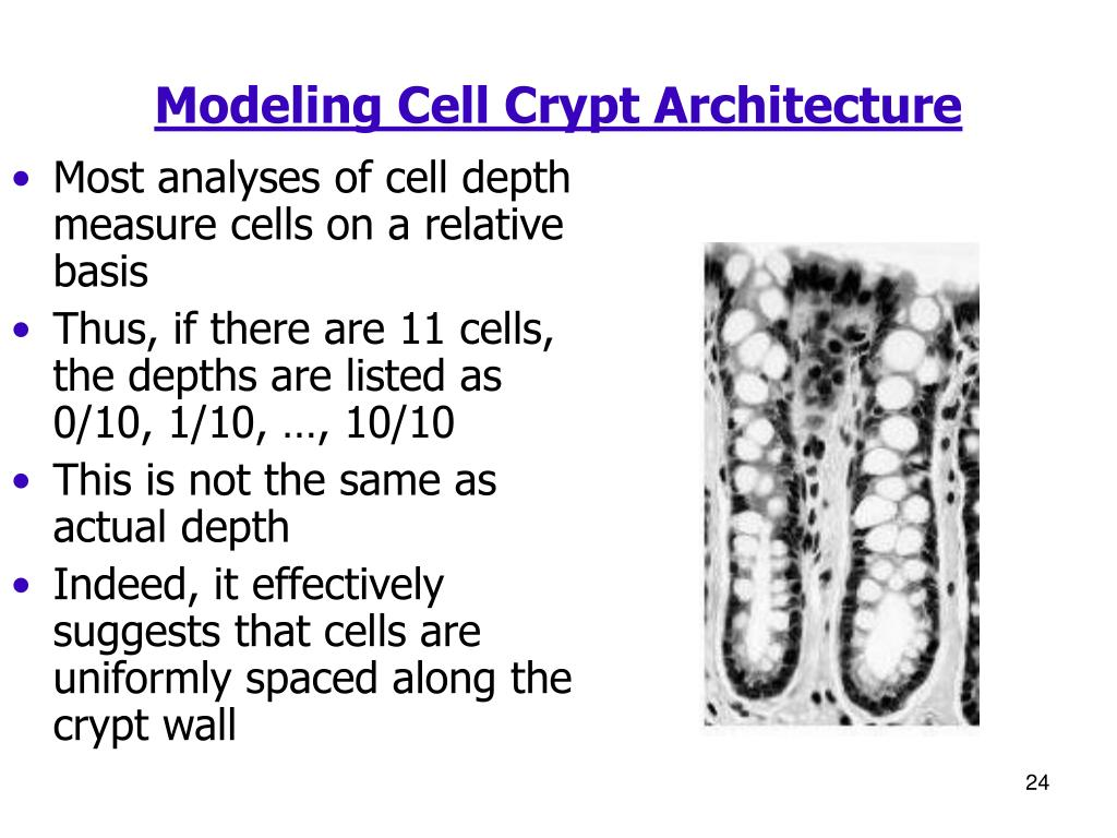 Modeling Cell Crypt Architecture