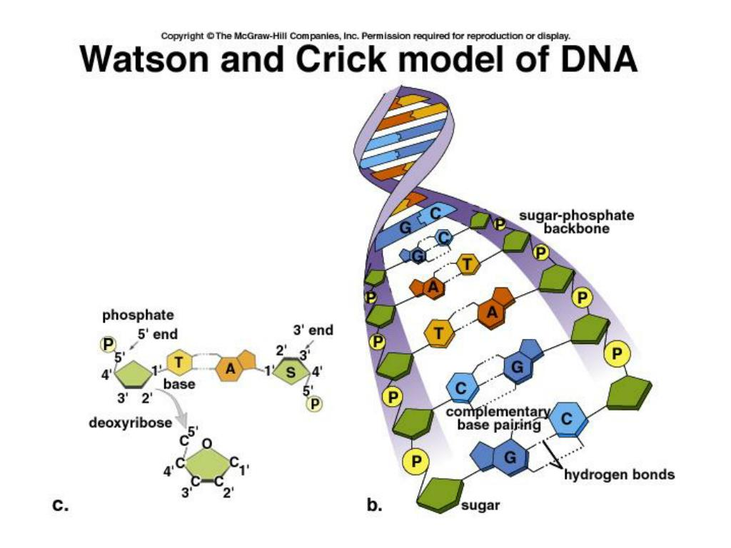 PPT - DNA: Structure and Function PowerPoint Presentation ...