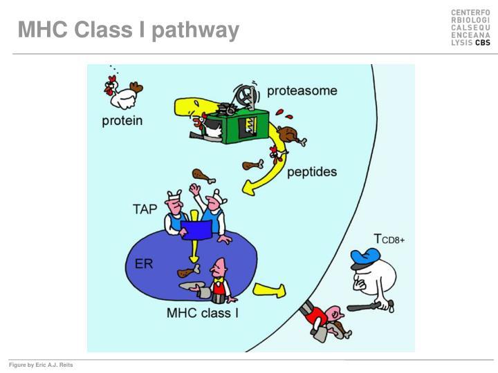 MHC Class I pathway