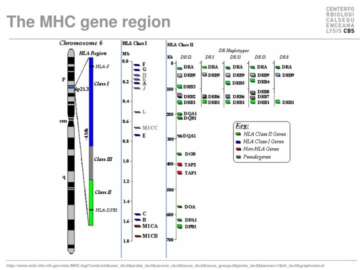 The MHC gene region