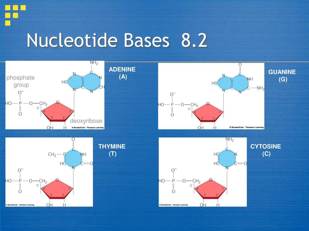 Nucleotide Bases  8.2