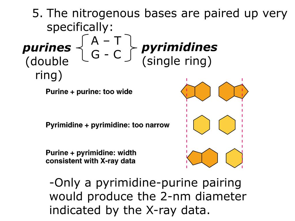 The nitrogenous bases are paired up very