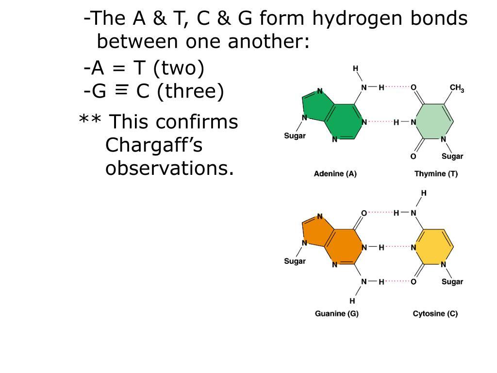 -The A & T, C & G form hydrogen bonds