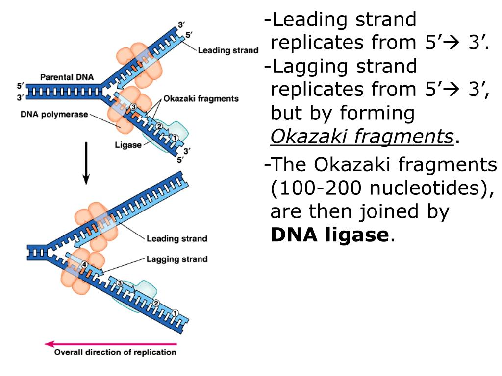-Leading strand