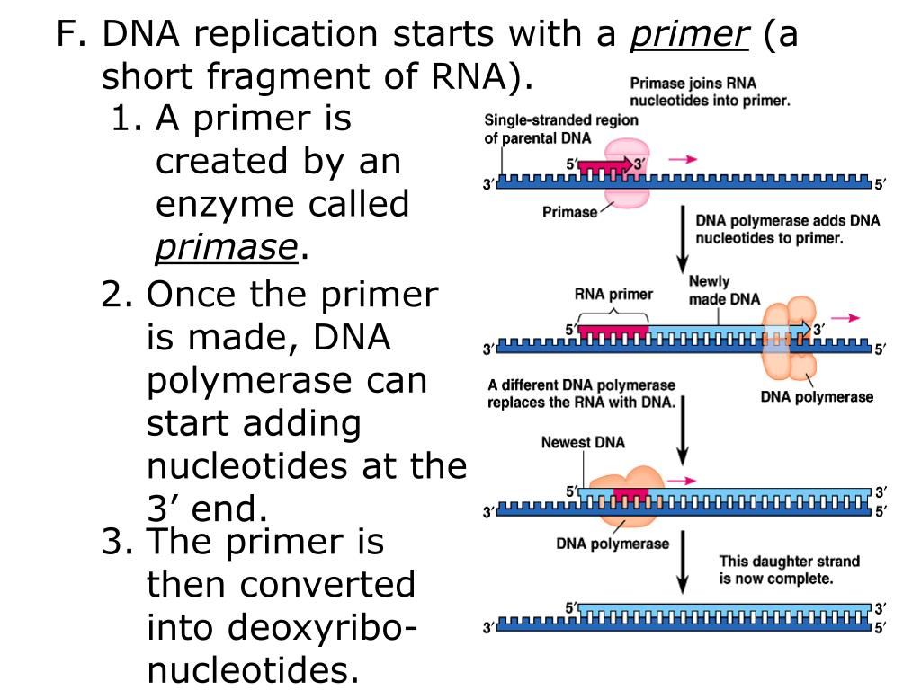 DNA replication starts with a