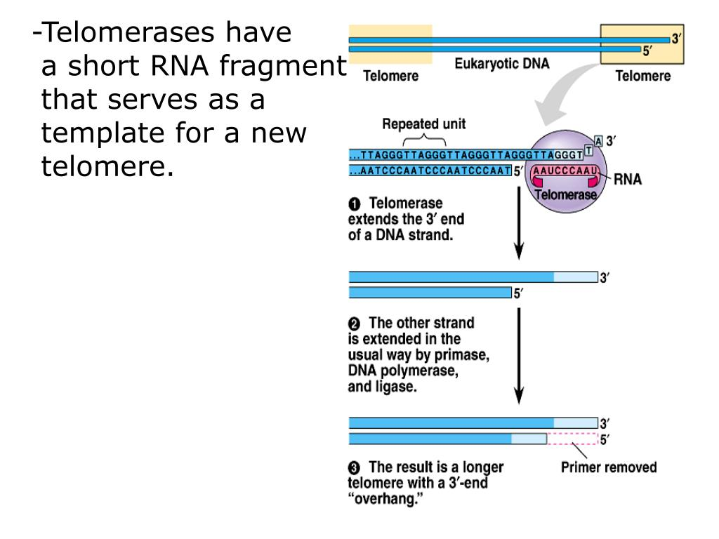 -Telomerases have