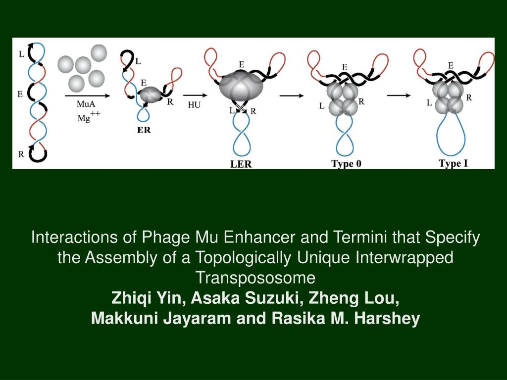 Interactions of Phage Mu Enhancer and Termini that Specify the Assembly of a Topologically Unique Interwrapped Transpososome