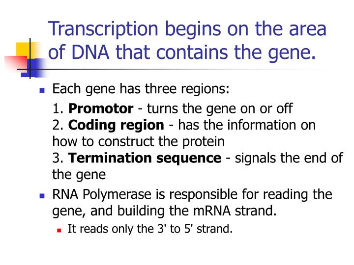 Transcription begins on the area of DNA that contains the gene.