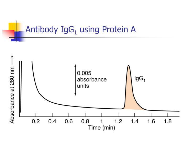 Antibody IgG