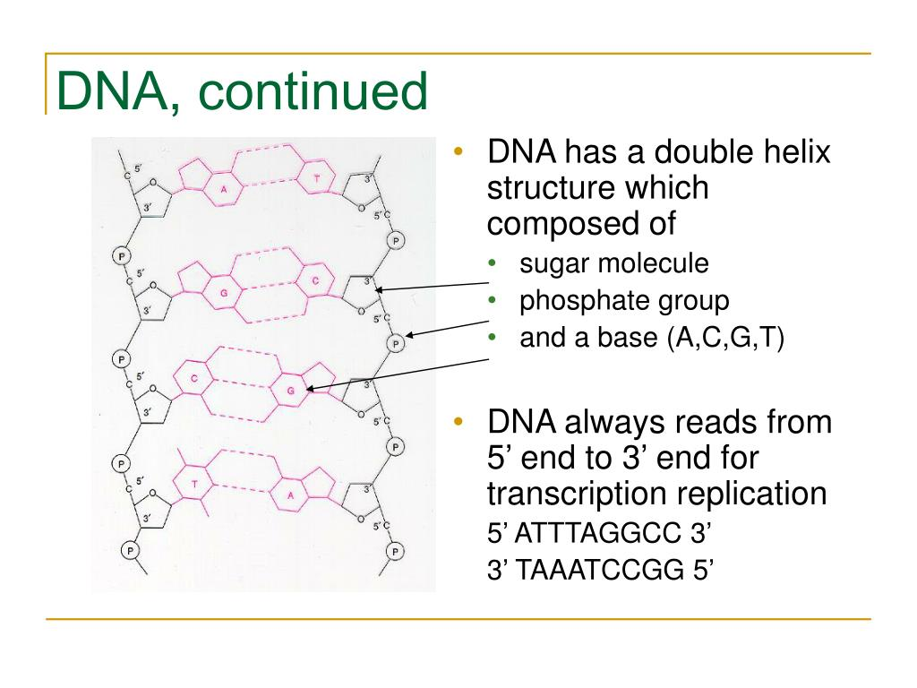 DNA, continued