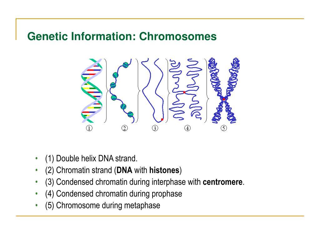 Genetic Information: Chromosomes