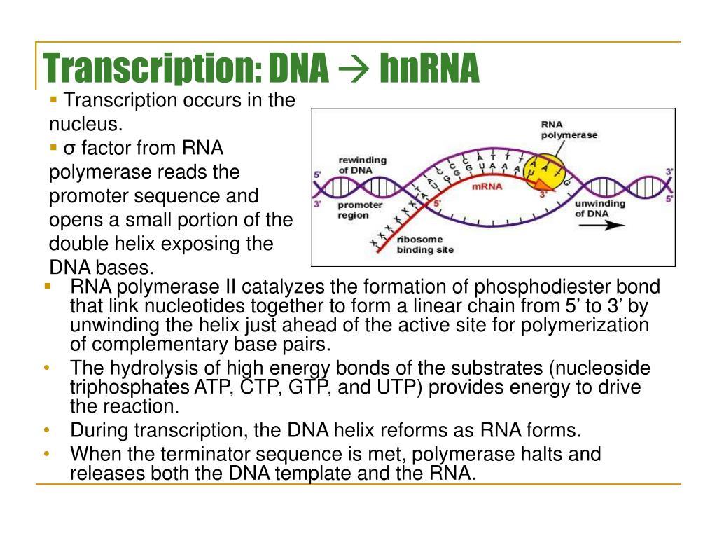 Transcription: DNA
