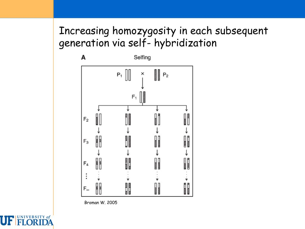 Increasing homozygosity in each subsequent generation via self- hybridization