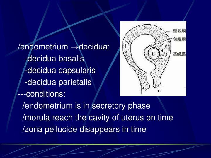 /endometrium →decidua:
