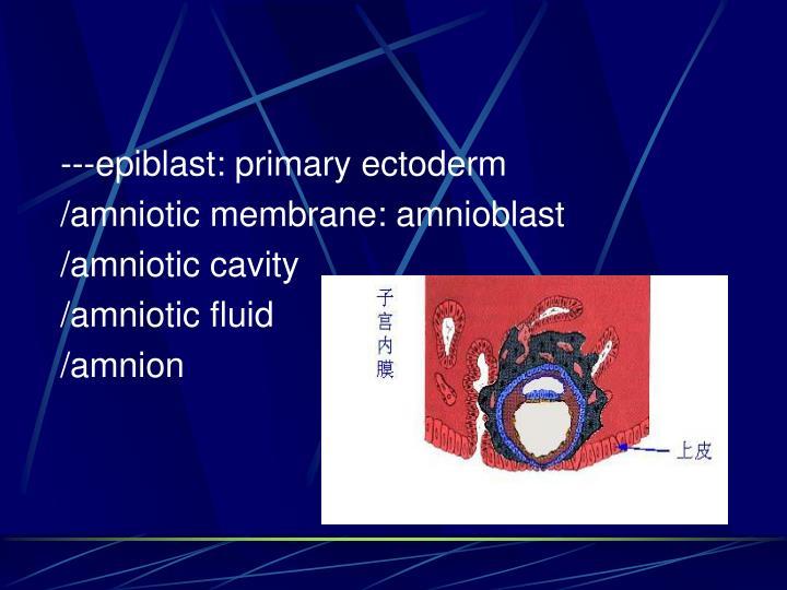 ---epiblast: primary ectoderm