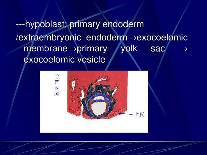 ---hypoblast: primary endoderm