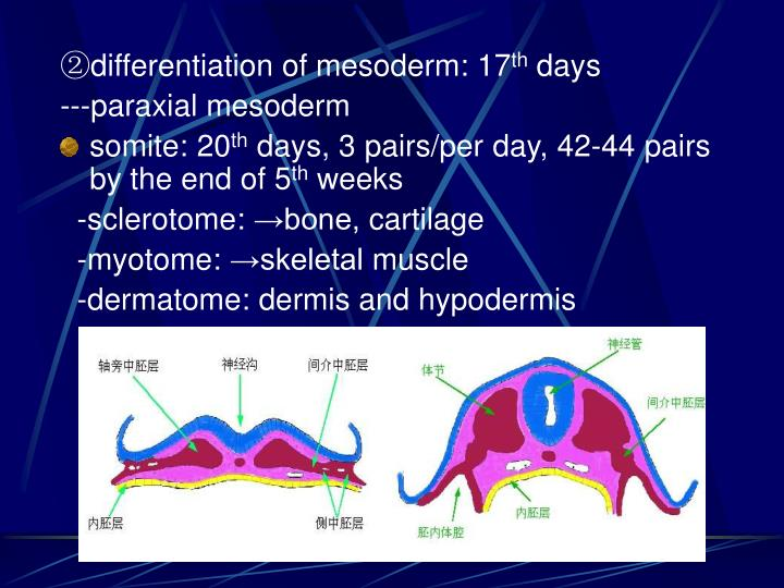 ②differentiation of mesoderm: 17