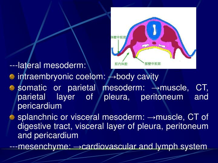 ---lateral mesoderm:
