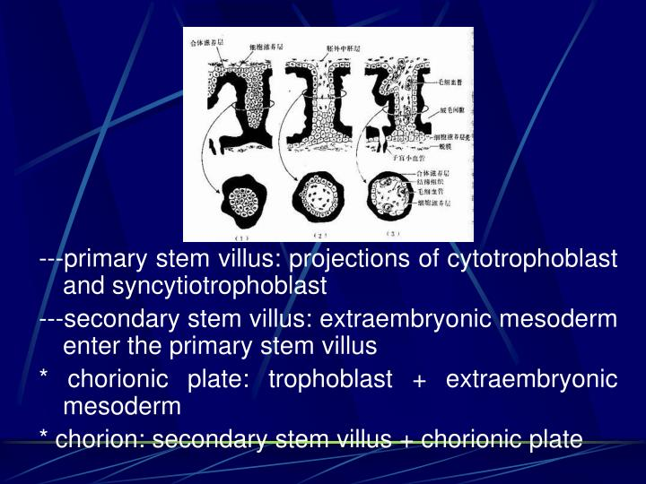 ---primary stem villus: projections of cytotrophoblast and syncytiotrophoblast