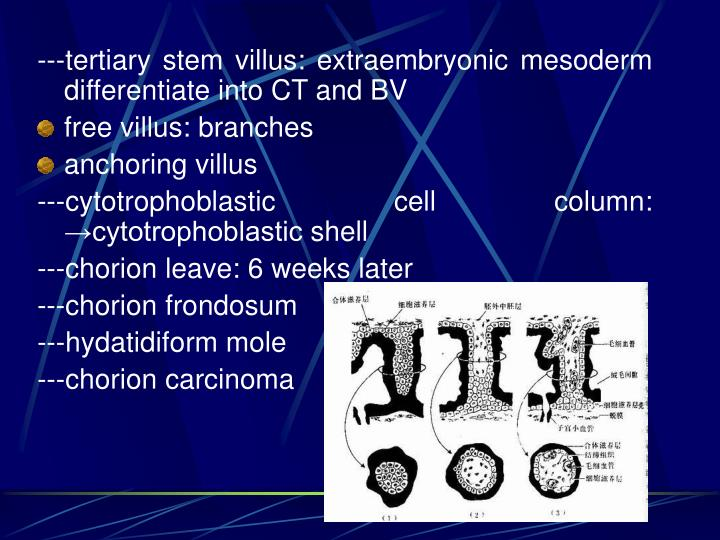 ---tertiary stem villus: extraembryonic mesoderm differentiate into CT and BV