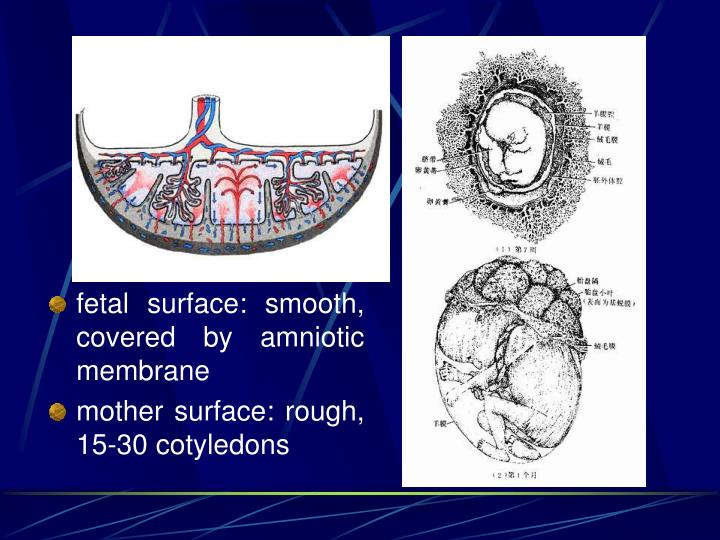 fetal surface: smooth, covered by amniotic membrane