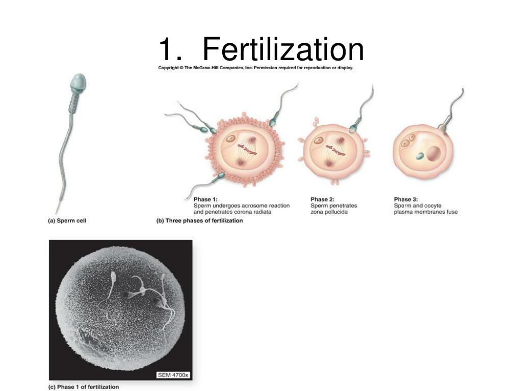 1.  Fertilization