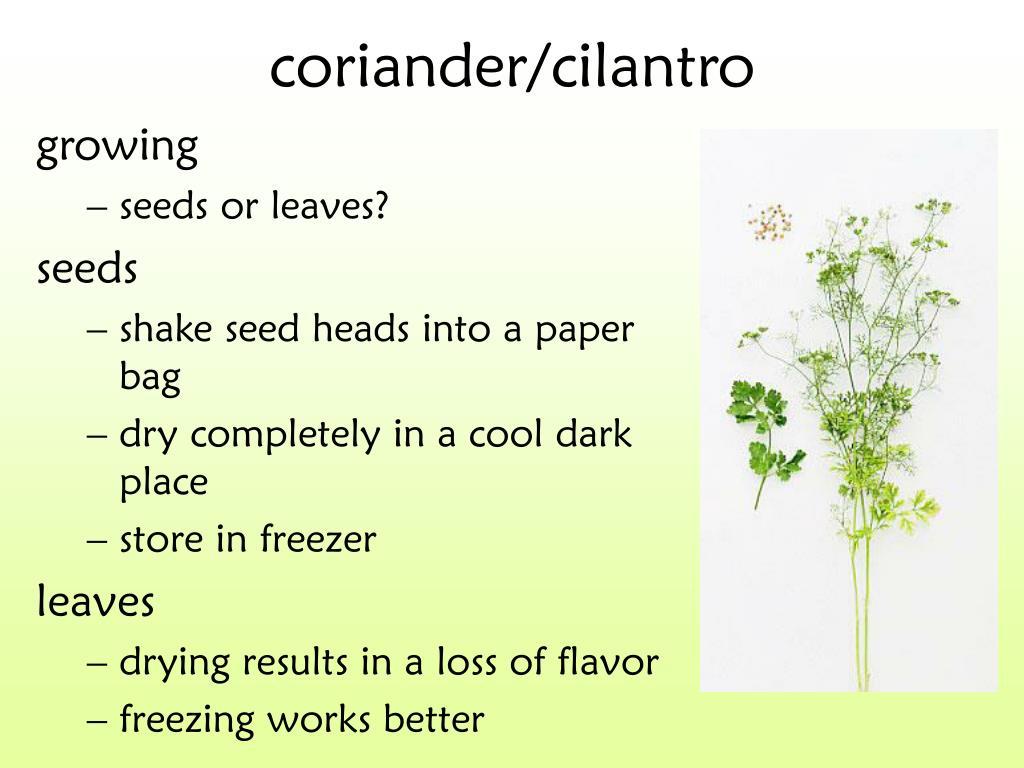 coriander/cilantro
