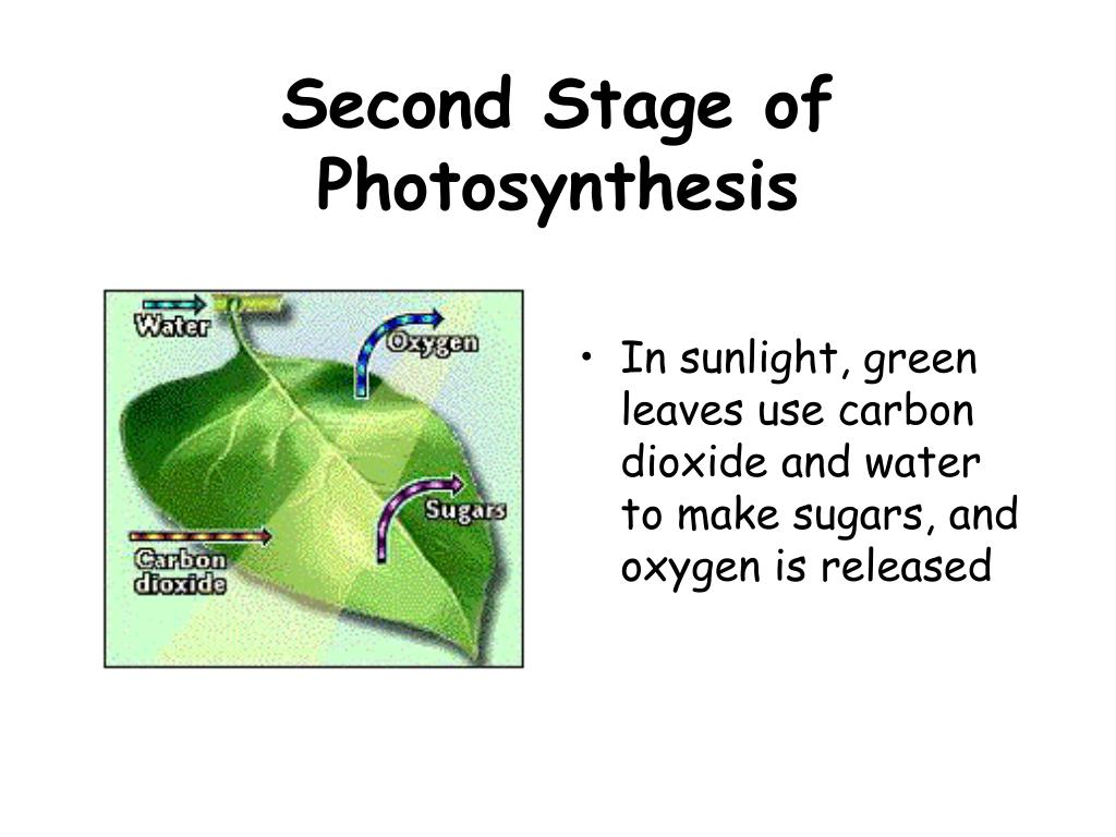 Second Stage of Photosynthesis