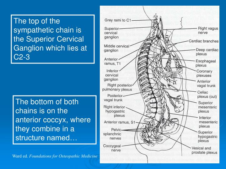 The top of the sympathetic chain is the Superior Cervical Ganglion which lies at C2-3