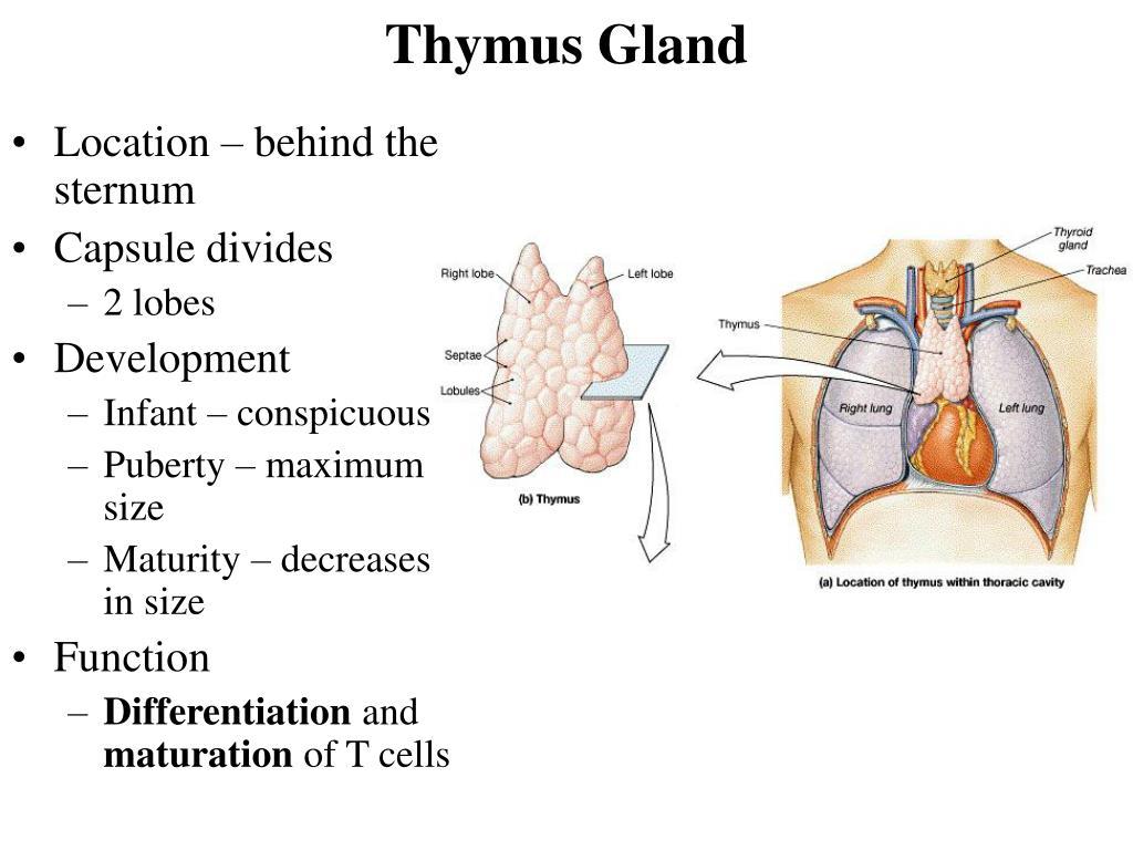 Wunderbar Thymus Funktion Bilder - Menschliche Anatomie Bilder ...