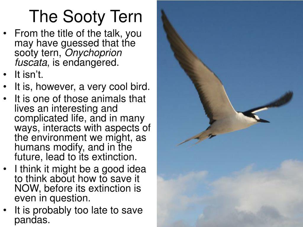 The Sooty Tern