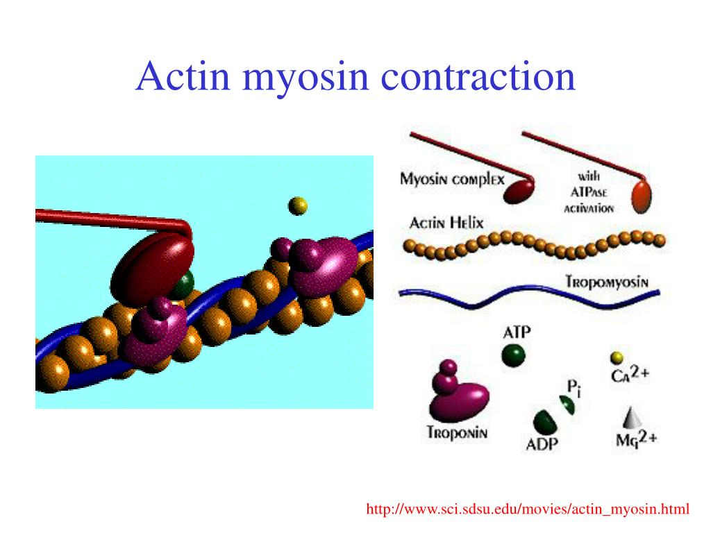 Actin myosin contraction