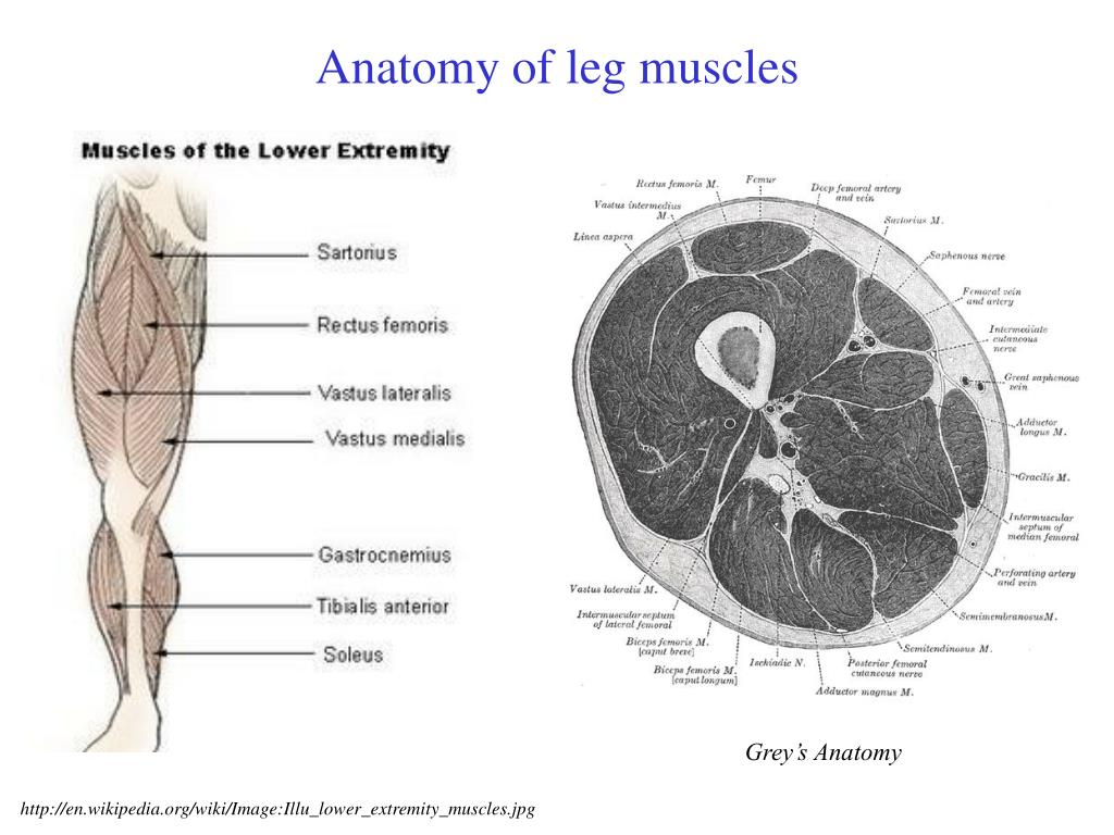 Anatomy of leg muscles