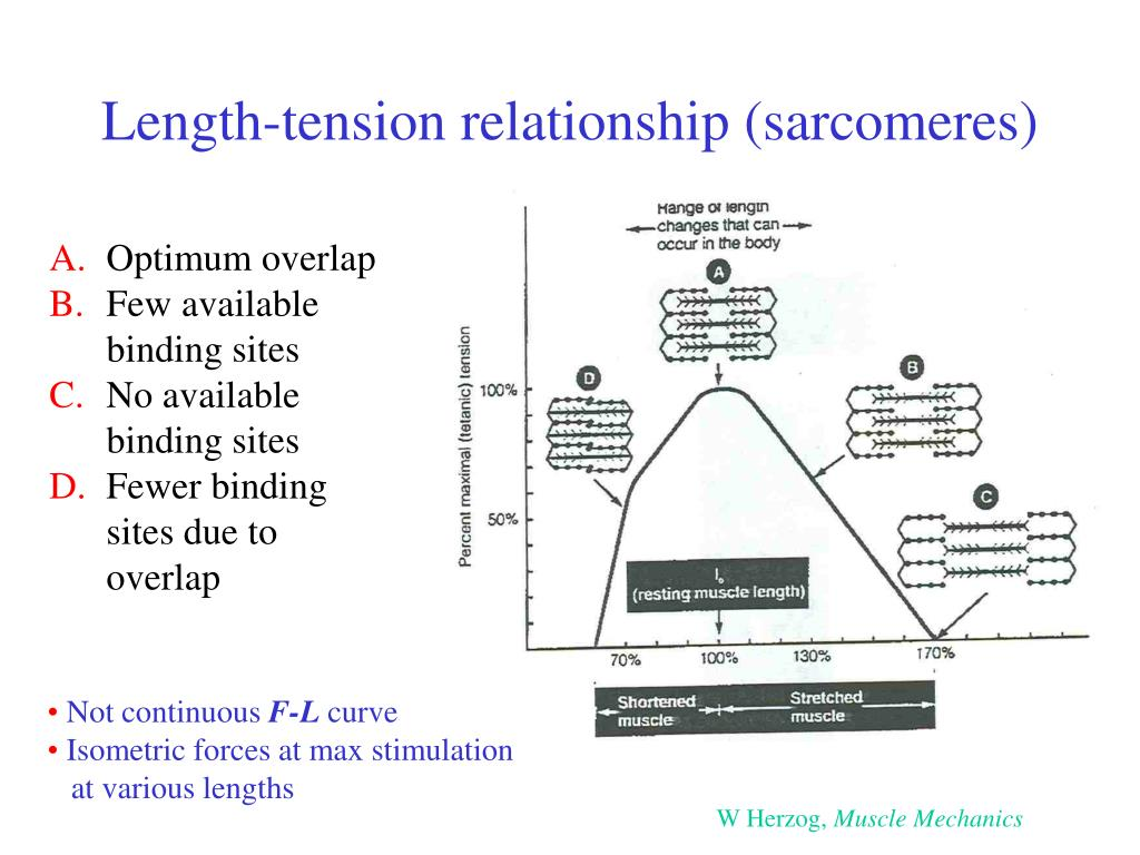Length-tension relationship (sarcomeres)
