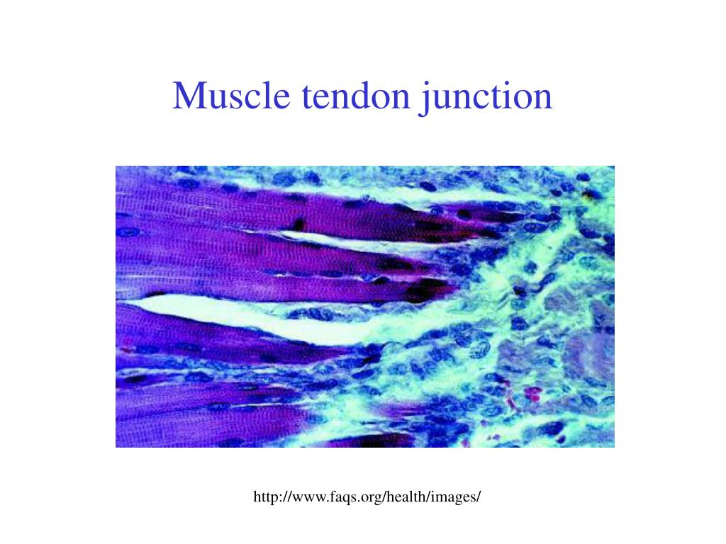 Muscle tendon junction