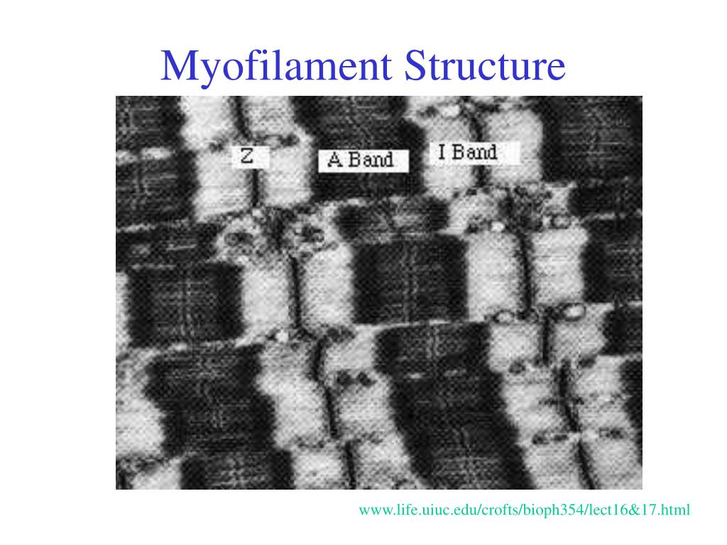 Myofilament Structure