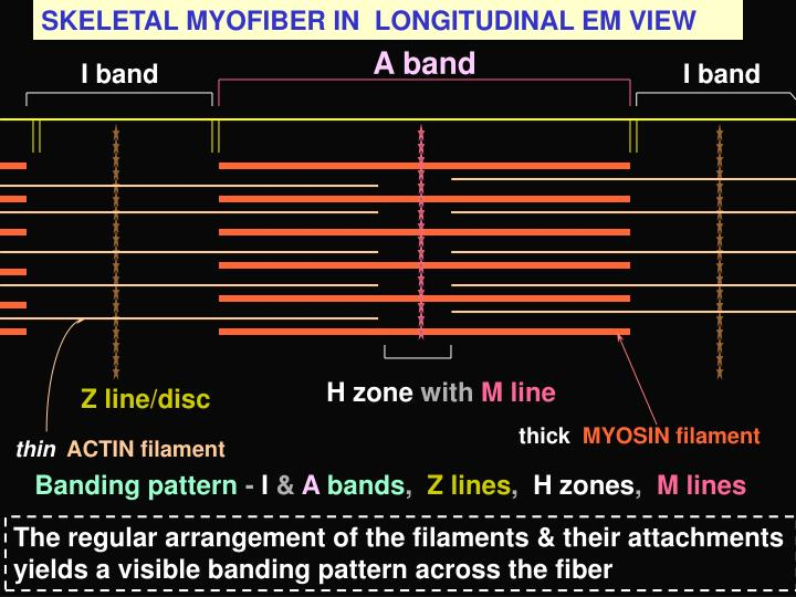 SKELETAL MYOFIBER IN  LONGITUDINAL EM VIEW