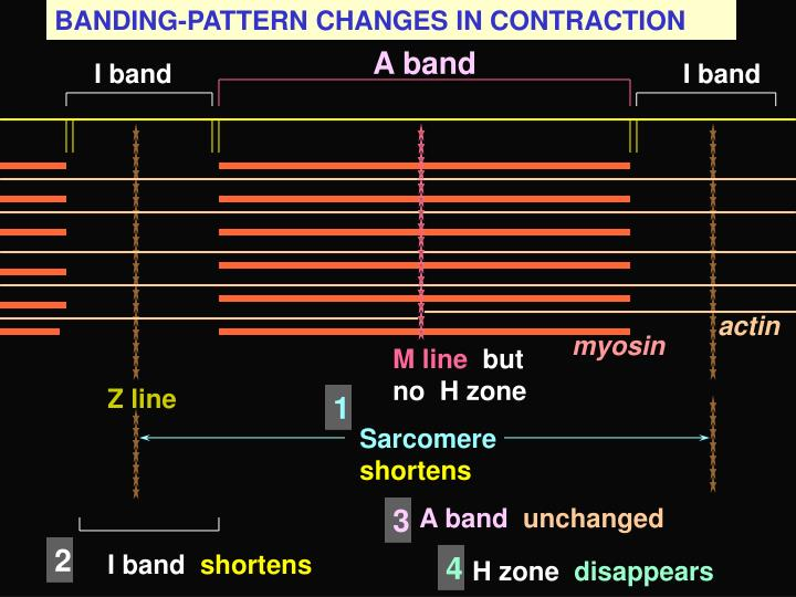BANDING-PATTERN CHANGES IN CONTRACTION