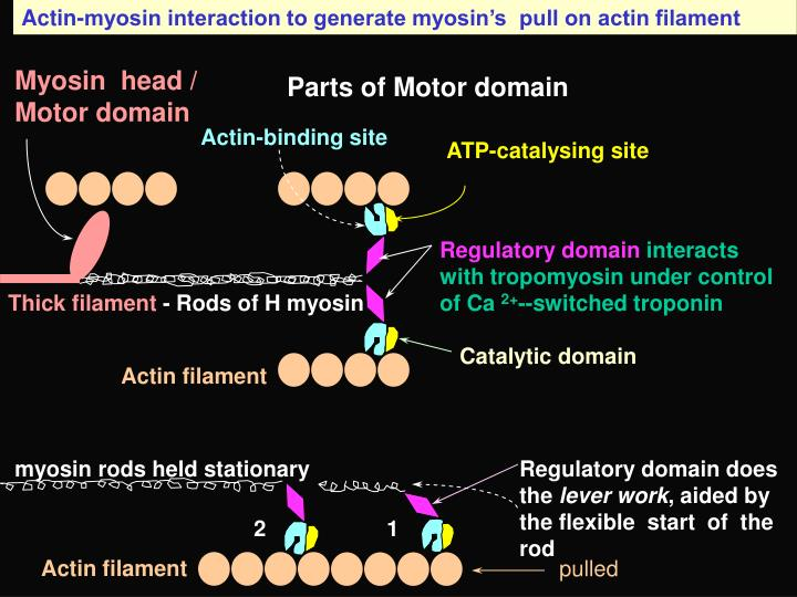 Actin-myosin interaction to generate myosin's  pull on actin filament