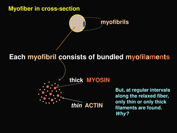 Myofiber in cross-section