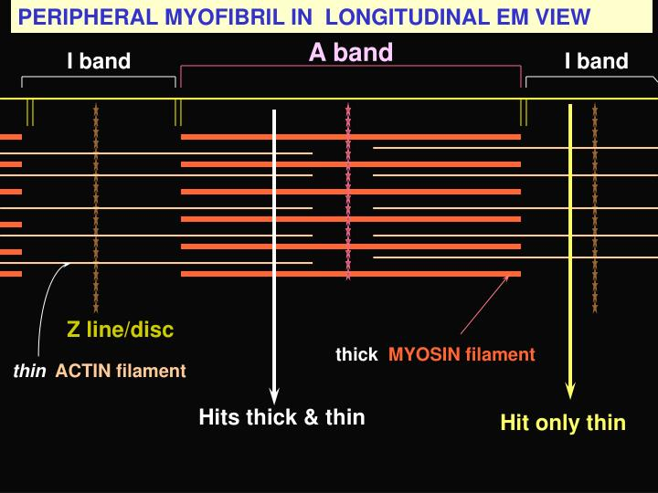PERIPHERAL MYOFIBRIL IN  LONGITUDINAL EM VIEW