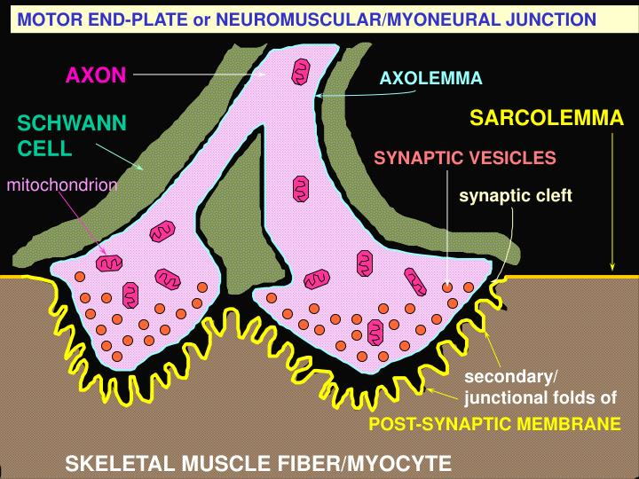 MOTOR END-PLATE or NEUROMUSCULAR/MYONEURAL JUNCTION