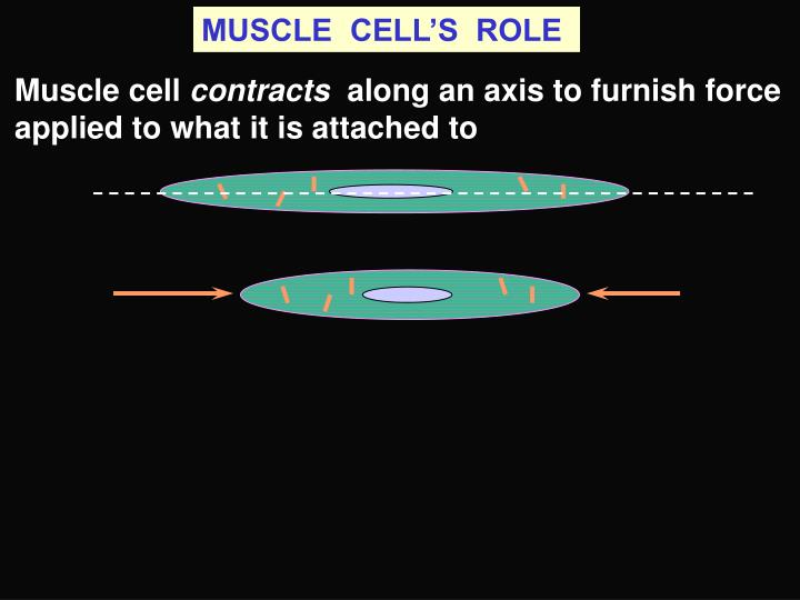 MUSCLE  CELL'S  ROLE