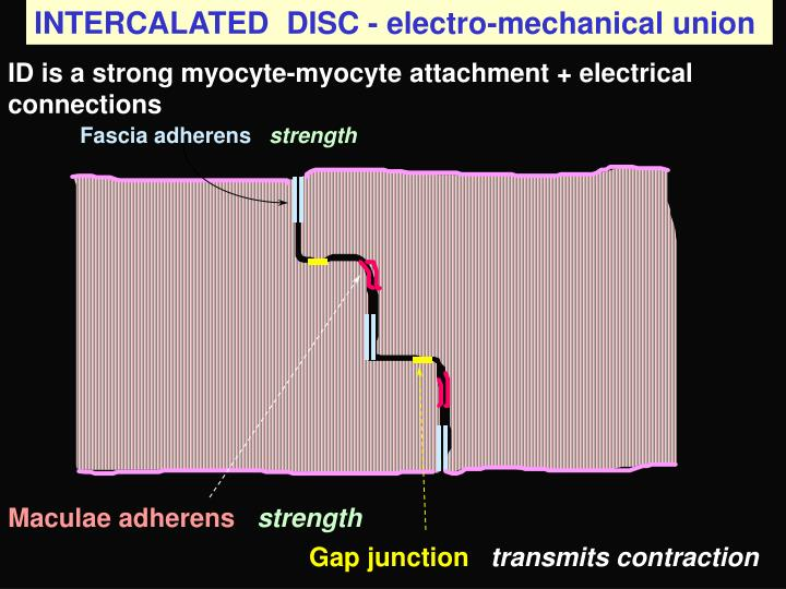 INTERCALATED  DISC - electro-mechanical union