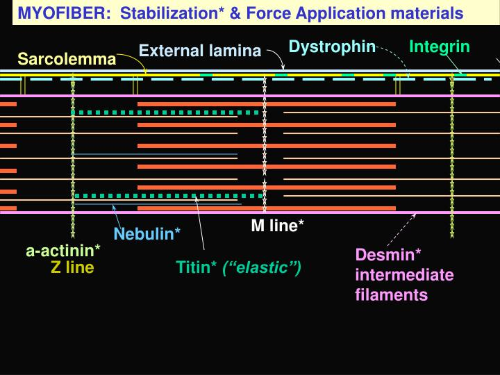 MYOFIBER:  Stabilization* & Force Application materials