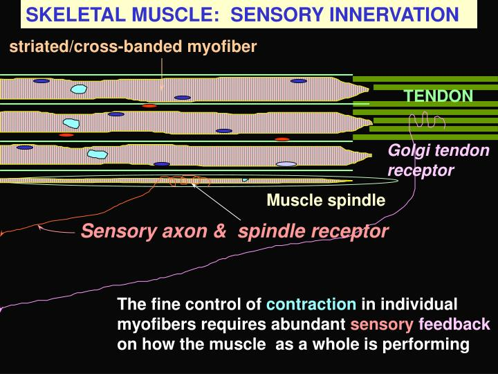 SKELETAL MUSCLE:  SENSORY INNERVATION