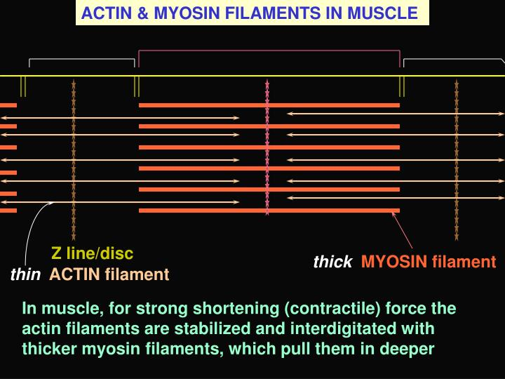 ACTIN & MYOSIN FILAMENTS IN MUSCLE