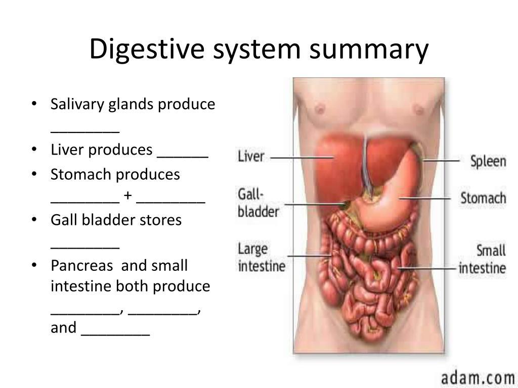 Digestive system summary