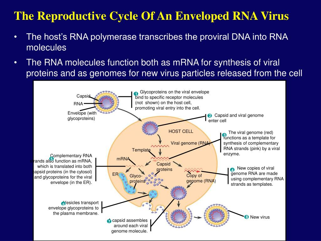 Glycoproteins on the viral envelope